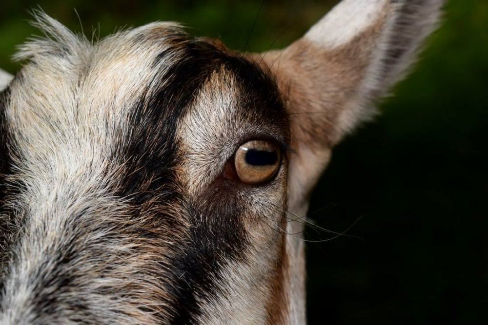 goat_close_up_by_davidbillups-dacyqw2.thumb.jpg.9b5a6f87092245807a1300cc599a5a5e.jpg