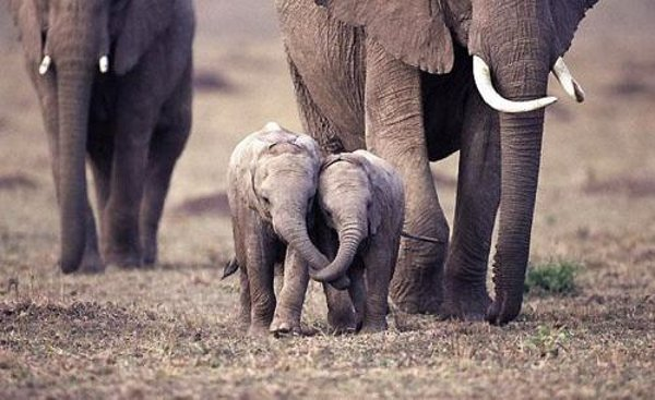 Cute baby elephants playing in water