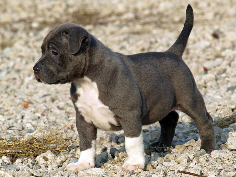 pitbull-dog-puppy-high-definition-wallpa